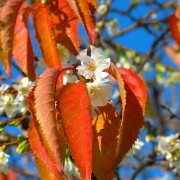 cherry-blossoms-222370_1280