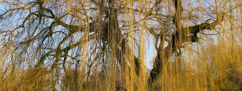 weeping-willow-255841_1920