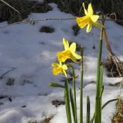 daffodil-1198326_1920