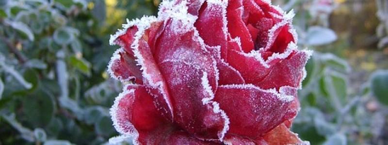roses-70891_640