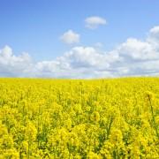 field-of-rapeseeds-474558_1920
