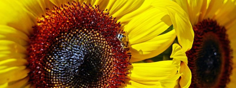 sun-flower-1484893_960_720