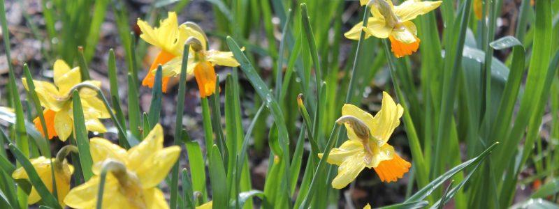 daffodil-698213_1920