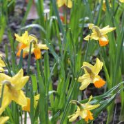 daffodil-698213_960_720