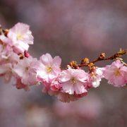 cherry-blossom-3285200_1920