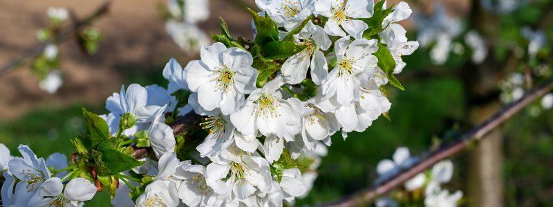 cherry-trees-3316360_1920