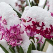 hyacinth-3237839_960_720
