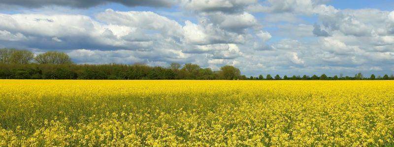 oilseed-rape-3188119_1280
